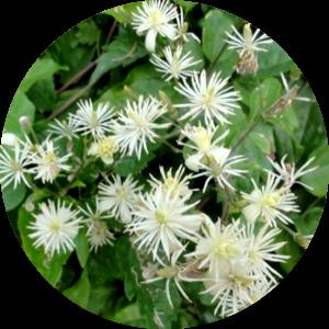 fleur de bach clematis
