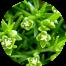scleranthus